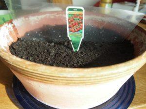 Tomatensaat