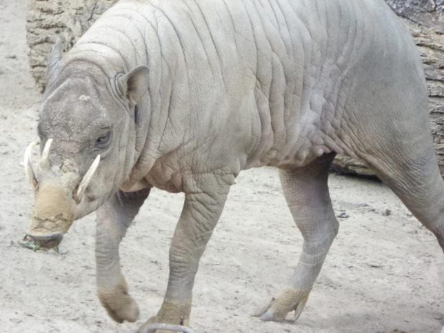 Hirscheber Zoo Berlin | wie ein Relikt aus alter Zeit