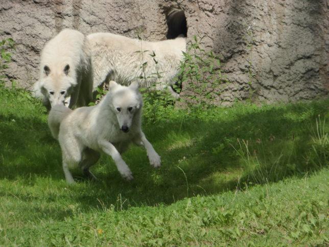 Polarwolf Zoo Berlin | Mit Kindern Wölfe erleben
