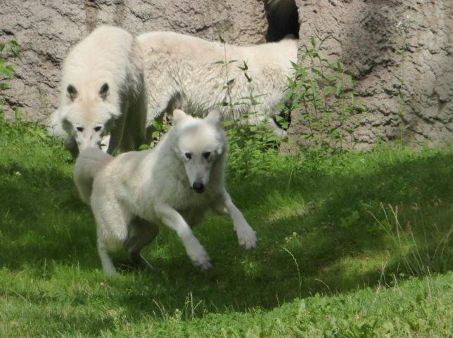 Polarwolf Zoo Berlin