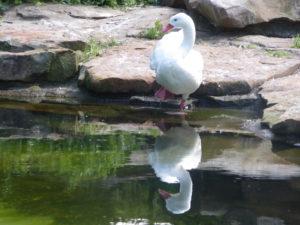 Coscorabaschwan Zoo Berlin | Angeblicher Namensvetter der Kindertröte